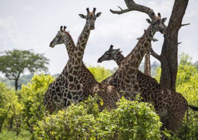 Giraffenquadrille mit Schiedsrichter, Tarangire NP (TZ)