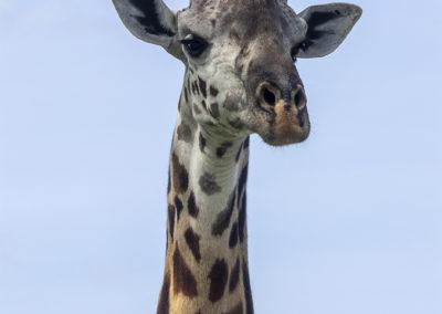 Schafer Blick, Giraffe, Tarangire NP (TZ)