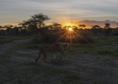 Löwe im Ngorongoro Schutzgebiet, Tanzania
