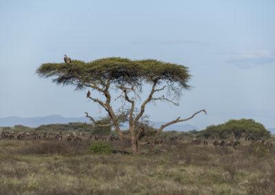 Akazie in Ngorongoro-Schutzgebiet