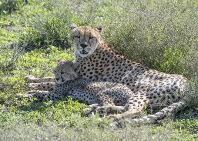 Geparden (TZ)