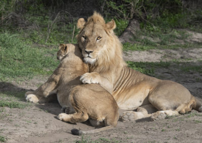 Löwenpaar im Ngorongoro-Schutzgebiet