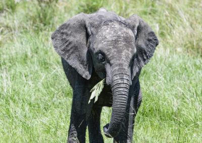 Elefant, Serengeti