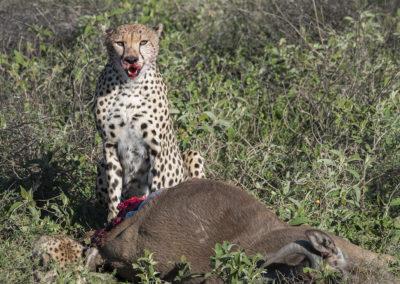 Gepard mit Beute