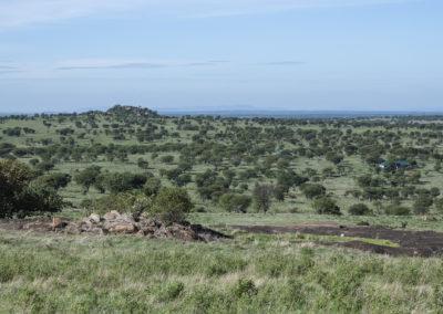 Lobo, Serengeti